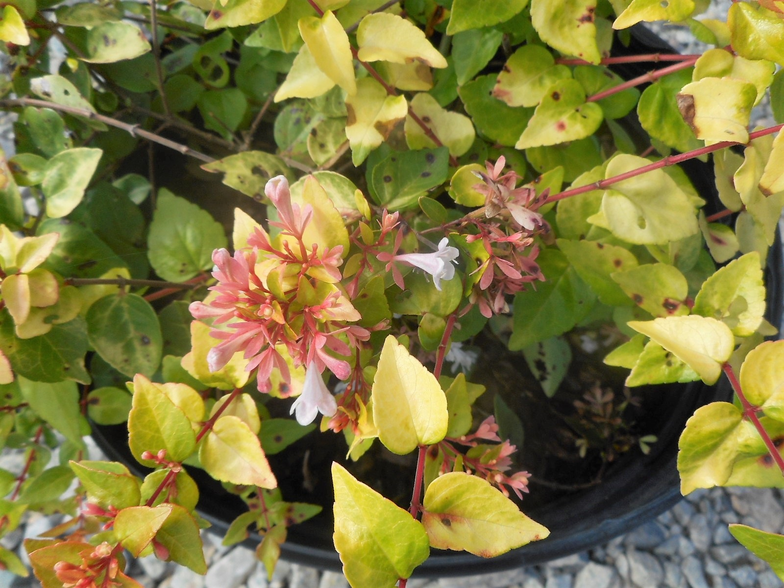 Plantsdetails Adcocks Nursery