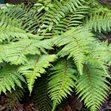 /Images/johnsonnursery/product-images/Polystichum_polyblepharum042916_t0xzge8qv.jpg