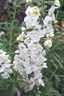 /Images/johnsonnursery/Products/Annuals/Angelonia_Angelface_White__PW.jpg