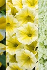 /Images/johnsonnursery/Products/Annuals/Lemon_Lime.jpg