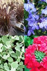 /Images/johnsonnursery/Products/Annuals/_12_Fireworks.jpg