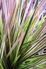 /Images/johnsonnursery/Products/Perennials/Deschampsia_Northern_Lights_-_PW.jpg
