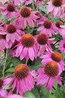/Images/johnsonnursery/Products/Perennials/E__Powwow_Wild_Berry_for_web.jpg