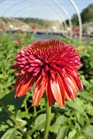 /Images/johnsonnursery/Products/Perennials/Echinacea_Db_Scoop_Orangeberry_for_web.jpg