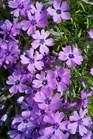 /Images/johnsonnursery/Products/Perennials/Phlox_Purple_Beauty_032812_for_web.jpg