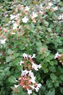 /Images/johnsonnursery/Products/Woodies/Abelia_Rose_Creek.jpg
