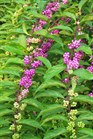 /Images/johnsonnursery/Products/Woodies/Callicarpa_Issai.jpg