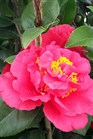 /Images/johnsonnursery/Products/Woodies/Camellia_Kramers_Supreme_for_web_3012102.jpg