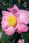 /Images/johnsonnursery/Products/Woodies/Camellia_Winters_Star.jpg