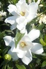 /Images/johnsonnursery/Products/Woodies/Gardenia_Frost_Proof.jpg