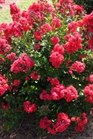 /Images/johnsonnursery/Products/Woodies/Lagerstroemia_Red_Magic_-_1st_Editions.jpg