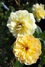 /Images/johnsonnursery/Products/Woodies/Rosa_Sunrosa_Yellow.jpg