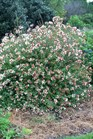 /Images/johnsonnursery/product-images/Abelia Little Richard100507_slhqrxqj0.jpg