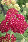 /Images/johnsonnursery/product-images/Achillea Strawberry Seduction051313_7pptnwuev.jpg