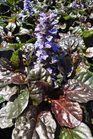 /Images/johnsonnursery/product-images/Ajuga Black Scallop051413_enrghkivd.jpg