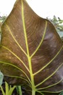 /Images/johnsonnursery/product-images/Alocasia Regal Shields_oove951mz.jpg