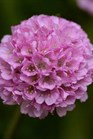 /Images/johnsonnursery/product-images/Armeria Dreameria Sweet Dreams_2or2ntk6u.jpg