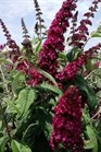 /Images/johnsonnursery/product-images/BDD CranRazz - Ballornamentals_krn8xfe3l.jpg