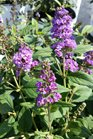 /Images/johnsonnursery/product-images/Buddleia Blue Chip Jr2062716_caqwrxan1.jpg