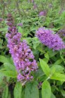 /Images/johnsonnursery/product-images/Buddleia Flutterby Petite Tutti Frutti Pink070313_13ssaiw9j.jpg