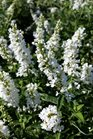 /Images/johnsonnursery/product-images/Buddleia Miss Pearl2072816_2fr1bhmbb.jpg