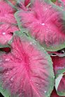 /Images/johnsonnursery/product-images/Caladium Artful Heartfire2060216_4ee5nz6zw.jpg