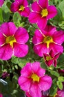/Images/johnsonnursery/product-images/Calibrachoa Cherry Star032812_bfsx340kg.jpg