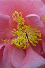 /Images/johnsonnursery/product-images/Camellia Ack Scent022007_639ws38pr.jpg
