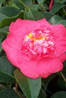 /Images/johnsonnursery/product-images/Camellia Lady Clare031302_mwerlsl4p.jpg