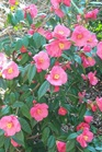 /Images/johnsonnursery/product-images/Camellia Taylors Perfection_znxdj9pfo.jpg