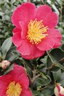 /Images/johnsonnursery/product-images/Camellia Yuletide_bqj2439tu.jpg