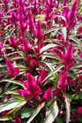 /Images/johnsonnursery/product-images/Celosia Intenz Lipstick041416_68h10p4tb.jpg