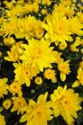 /Images/johnsonnursery/product-images/Chrysanthemum Conaco Yellow3093013_7apium8am.jpg