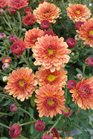 /Images/johnsonnursery/product-images/Chrysanthemum Staviski Orange3101613_krpoapwj8.jpg