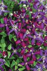 /Images/johnsonnursery/product-images/Clematis Sweet Summer Love_h5a3tttbu.jpg