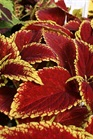 /Images/johnsonnursery/product-images/Coleus Defiance - flickr_2fddcwno0.jpg