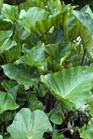 /Images/johnsonnursery/product-images/Colocasia Coffee Cups2082412_hjzoiuonn.jpg