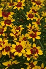 /Images/johnsonnursery/product-images/Coreopsis Sizzle Spice Curry Up_qbmwzqjlw.jpg