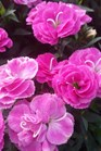 /Images/johnsonnursery/product-images/Dianthus Cadence Raspberry_kd2gw2zjs.jpg