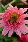 /Images/johnsonnursery/product-images/Echinacea_Double_Scoop_Bubble_Gum_3vh6tmahe.jpg