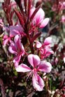 /Images/johnsonnursery/product-images/Gaura Passionate Blush4041117_sf21thbhc.jpg