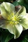 /Images/johnsonnursery/product-images/Helleborus Cinnamon Snow010615_rrn7wwcvd.jpg
