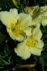 /Images/johnsonnursery/product-images/Hemerocallis Fragrant Returns2051517_wustddkhh.jpg
