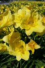 /Images/johnsonnursery/product-images/Hemerocallis Happy Returns051517_m8kpbgggo.jpg