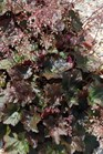 /Images/johnsonnursery/product-images/Heuchera Palace Purple MI13_xola2j9uq.jpg