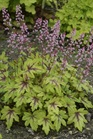 /Images/johnsonnursery/product-images/Heucherella Eye Spy_desh5zen4.jpg
