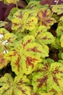 /Images/johnsonnursery/product-images/Heucherella Yellowstone Falls_vm969n5nh.jpg