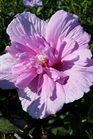 /Images/johnsonnursery/product-images/Hibiscus Lavender Chiffon2072516_t8ee0z96x.jpg