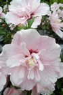/Images/johnsonnursery/product-images/Hibiscus Pink Chiffon082412_ief8gm6wo.jpg