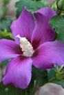 /Images/johnsonnursery/product-images/Hibiscus Purple Satin_s8b8484q8.jpg